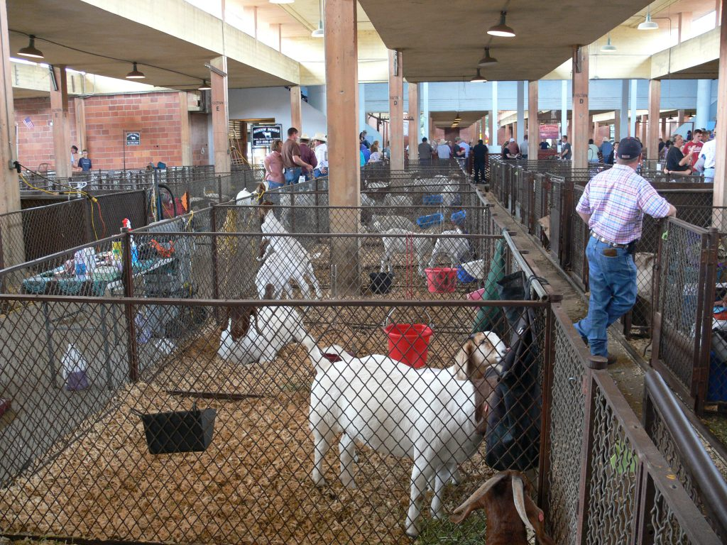 Texas_State_Fair_goats (2)