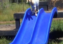 goat on a slide