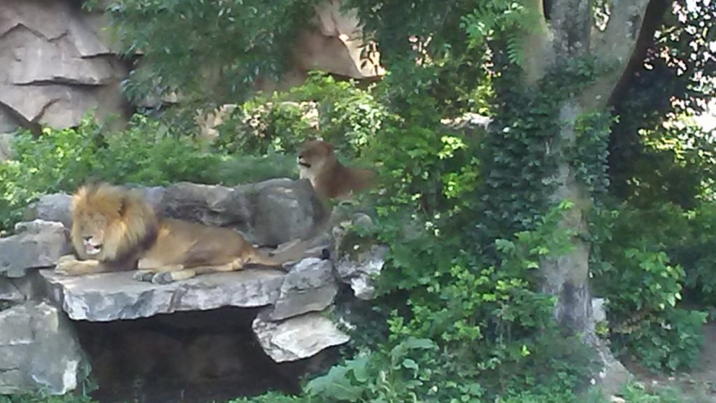 St Louis Zoo lions
