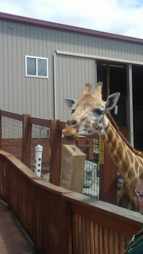 Oliver the giraffe