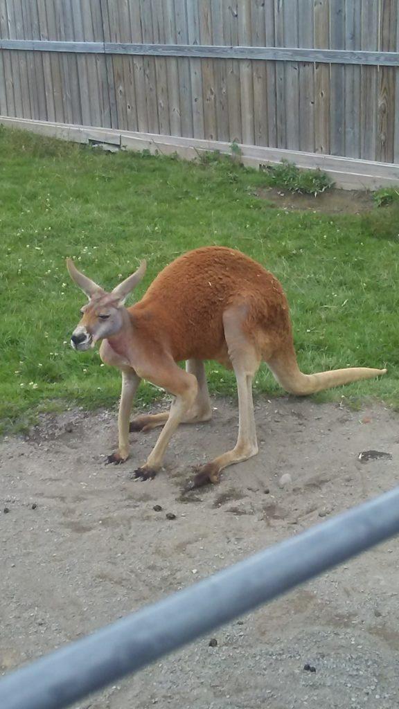 Kangaroo at AAP