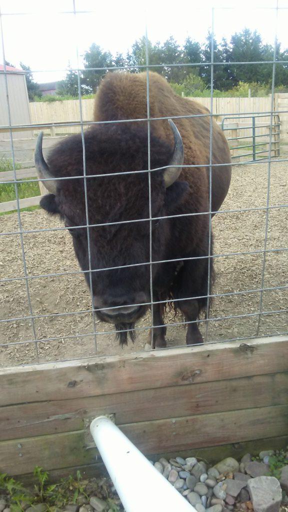 Buffalo at AAP